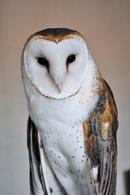 barn-owl-staring-2.19159ee99722392be22d021cd3a31cde1656