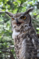 great-horned-owl-staring-3.19159ee99722392be22d021cd3a31cde1656